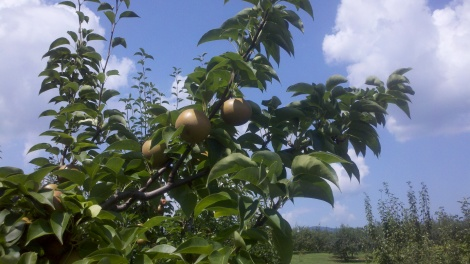pears + sky/tiger, ga/august 2012