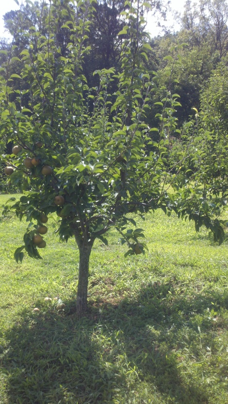 pear tree/tiger, ga/august 2012