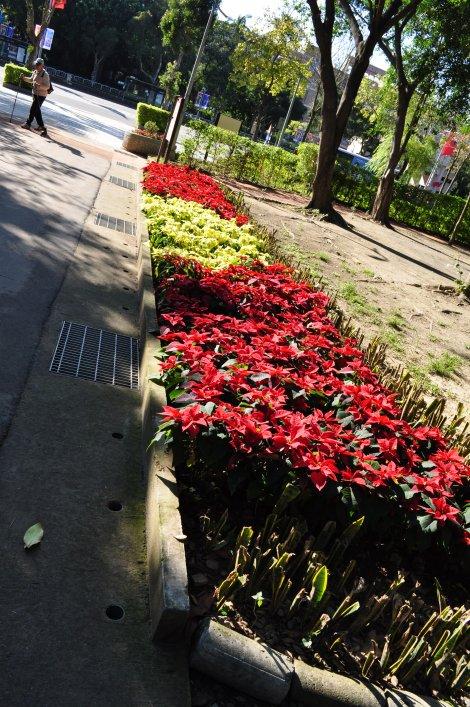 not xmas without poinsettias on display/da'an park, taipei/dec 2012