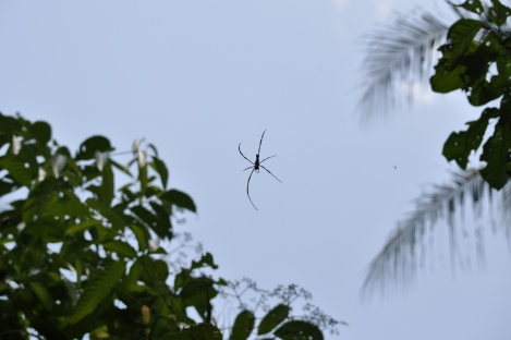 we saw these big mamas (golden orb web spiders) all over the place/pulau ubin, singapore/march 2013