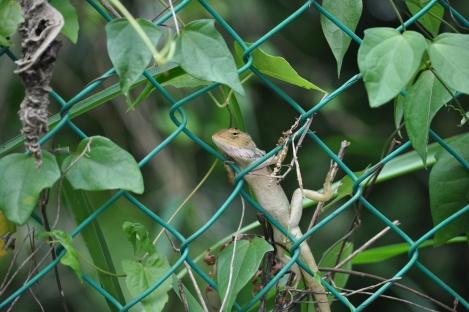 i love lizards/pulau ubin, singapore/march 2013